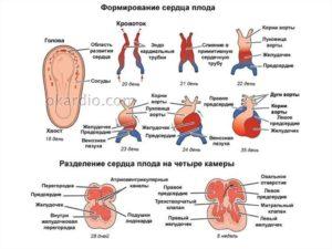 Эмбрион увеличивается в размерах, а сердцебиения нет