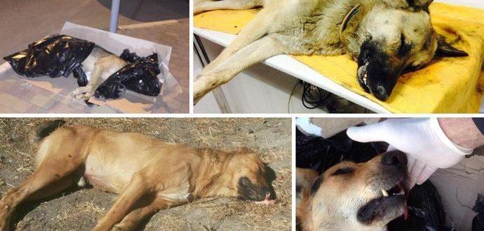 Можно ли заразится бешенством разделывая птиц задушенных бездомной собакой
